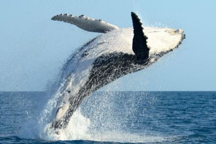whale watch maui free adventures
