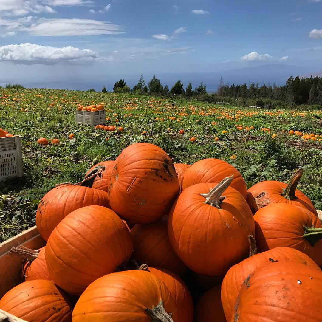 Harvested pumpkin pile and pumpkin patch with blue sky